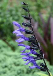 3 er Set Azteken-Salbei Salvia 'Black & Bloom' 13 cm Topf