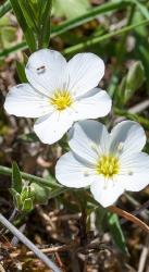 3 er Set Berg-Sandkraut Arenaria montana 13 cm Topf