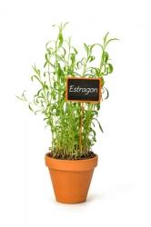 3 er Set  Französischer Estragon Kräuterpflanze im Topf