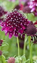 3 er Set Garten-Skabiose Scabiosa columbaria 'Barroca' 13 cm Topf