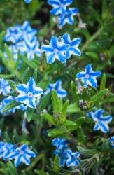 3 er Set Garten-Steinsame im Lithodora diffusa 13 cm Topf