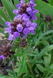 3 er Set Großblütige Braunelle Prunella grandiflora 13 cm Topf
