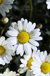 3 er Set Großblumige Garten-Margerite 'Snow Lady' 13 cm Topf