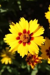 3 er Set Großblumiges Mädchenauge Coreopsis grandiflora 'Sunfire' Gelb 13 cm Topf