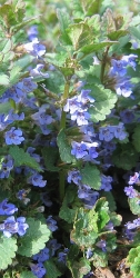 3 er Set Gundermann Glechoma hederacea 'Dappled Light' 13 cm