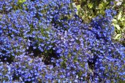 3 er Set  Männertreu Lobelia richardii Blau 13 cm Topf