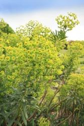 3 er Set Mandelblättrige Wolfsmilch Euphorbia amygdaloides 13 cm Topf