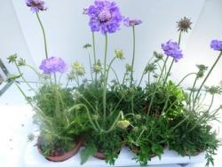 3 er Set Scabiosa columbaria 'Mariposa Blue' 13 cm Topf