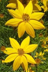 3 er SetNadelblättriges Mädchenauge Coreopsis verticillata 'Zagreb 13 cm Topf