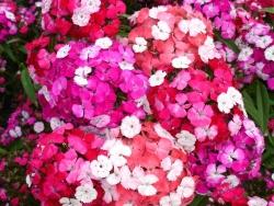 4 er Set Dianthus barbatus 'Noverna'