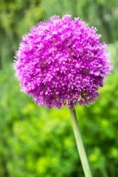 Allium Staude giganteum riesen Kugel Lauch