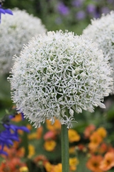 Allium Staude mount Everest riesen Kugel Lauch