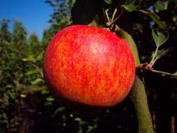 Apfel halbstamm - Alkmene, MM 111