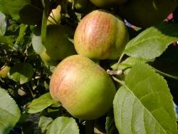Apfel halbstamm - Altländer Pfannkuchen Bittenfelder