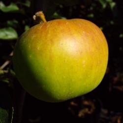 Apfel halbstamm - Jakob Lebel, MM 111