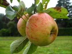 Apfelbaum - Finkenwerder Herbstprinz MM 111