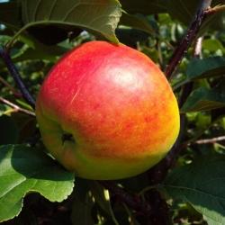 Apfelbaum - Gerlinde® MM 111
