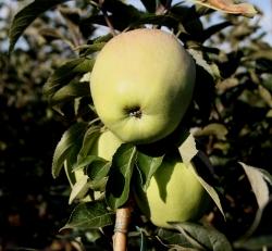 Apfelbaum - Glockenapfel MM 111