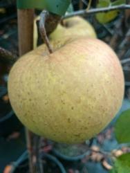Apfelbaum - Golden Delicious  MM 111