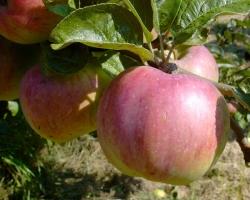 Apfelbaum - Ontarioapfel MM 111