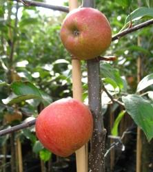 Apfelbaum - Rebella ®  MM 111