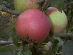 Apfelbaum - Roter Berlepsch MM 111