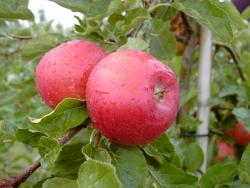 Apfelbaum - Santana® M 26, allergikergeeignet