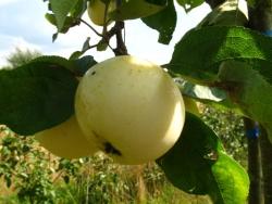 Apfelbaum - Weißer Klarapfel MM 111