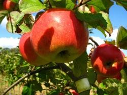 Apfelbaum halbstamm - James Grieve, MM 111