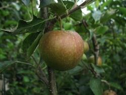 Apfelbaum halbstamm - Rubinette Rosso® MM 111
