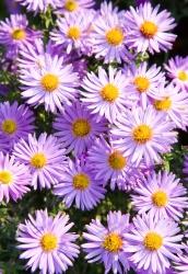 Astern lila im 2 er Set