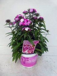 Bartnelke Dianthus barbatus 'Victoria'