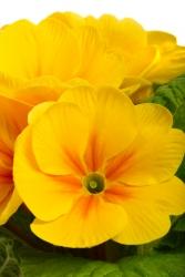 Begonien gelb - Begonien, auch Schiefblatt