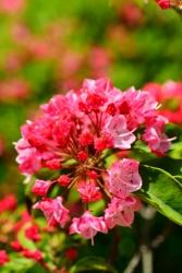 Berglorbeer-Rose - Kalmia polifolia