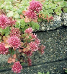 Bergpolster rot 3 Stück - Sedum spurium