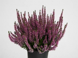 Besenheide Agens Garden Girls® - Calluna vulgaris