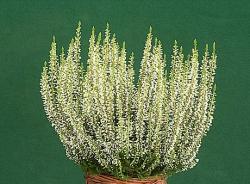 Besenheide Alicia Garden Girls® - Calluna vulgaris