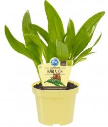 2 er Set Bio Bärlauch Allium ursinum
