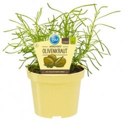 2 er Set Bio-Olivenkraut