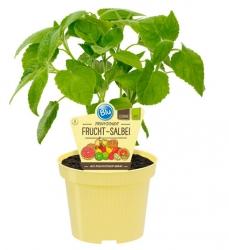 2 er Set Bio-Salbei Fruchtsalbei