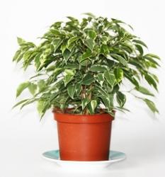 Birkenfeige Kinky® - Ficus benjamina Kinky