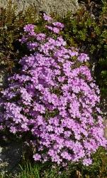 Blaukissen Teppich Bodendecker lila 3 er Set - Aubrieta Hybriden