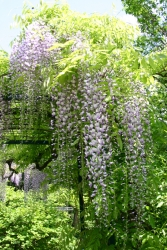 Blauregen - Wisteria sinensis
