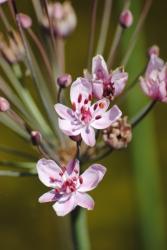 Blumenbinse Butomus umbellatus