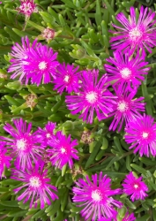 Bodendecker Mittagsblume 3 er Set - Delosperma