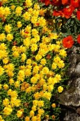 Bodendecker Mittagsblume gelb 3 er Set - Delosperma