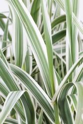 Braunblütige Segge Carex brunnea 'Variegata'