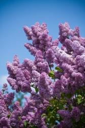 Buddleja - Schmetterlingsflieder
