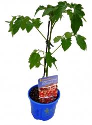 Cherrytomate F1 'Philovita' Freiland