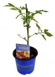 Cherrytomate 'Solena Sweet Red®' Veredelt